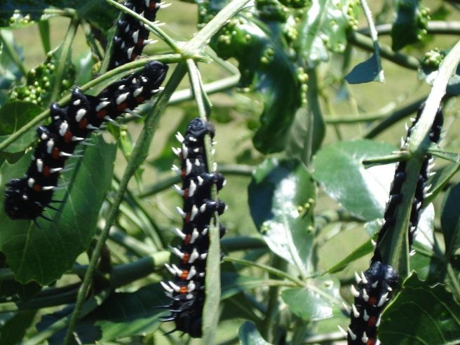 Cabbage tree emperor moth caterpillar