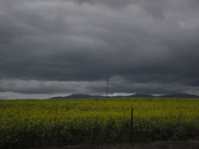Stormy clouds over a canola field near Philidelphia  Western Cape , South Africa