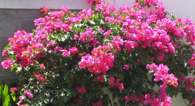 Bougainvillea in my garden