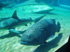A Fish - Potato Bass in Ushaka Marine World, Durban, South Africa