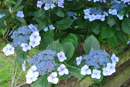 Hydrangea Blue Wave