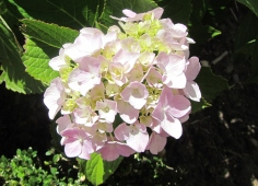 How beautiful is this light pink hydrangea? I absolutely adore these flowers