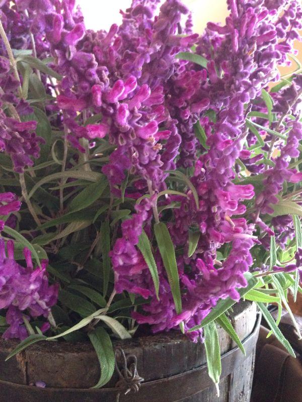 lavenderbush