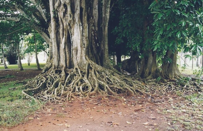 tree mauritius