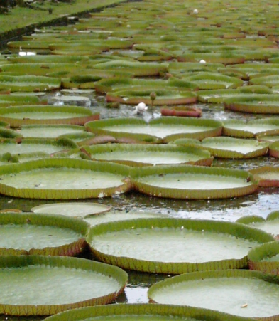 LWater lily pads in Mauritius