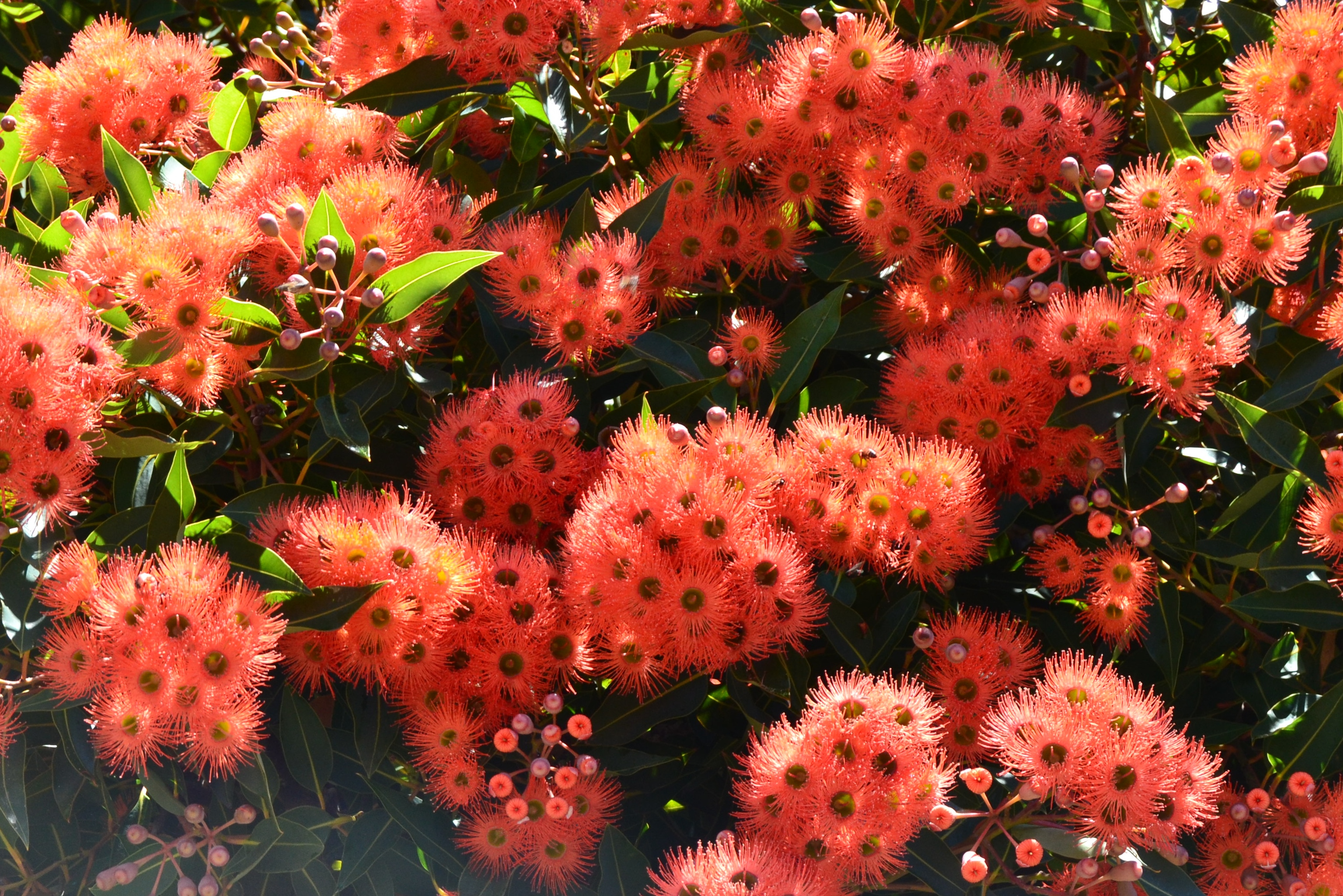 Floral Friday : red flowering gum | nowathome