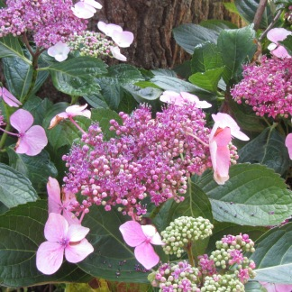 I found this hydrangea in George visiting a friend ( never thought it would be the last time that I will see her)
