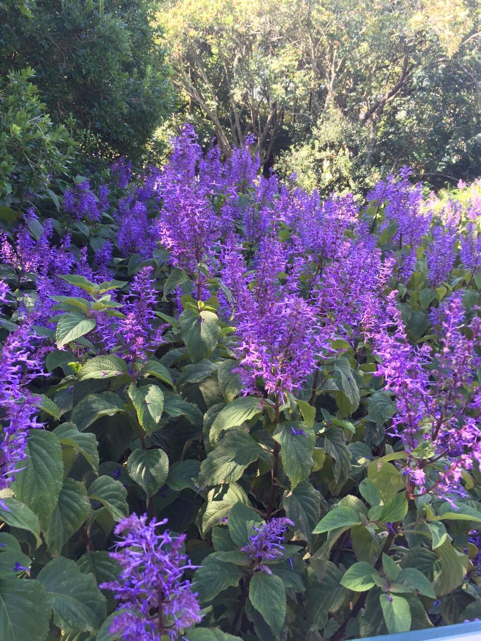 floral friday plectranthus nowathome