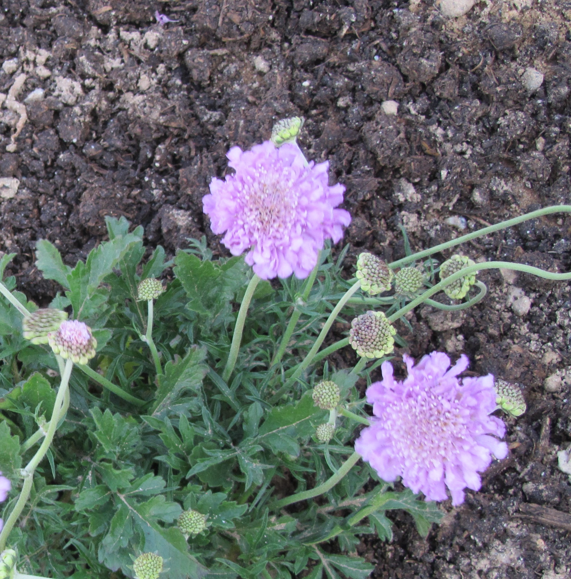 Floral Friday Scabiosa Incisa Nowathome