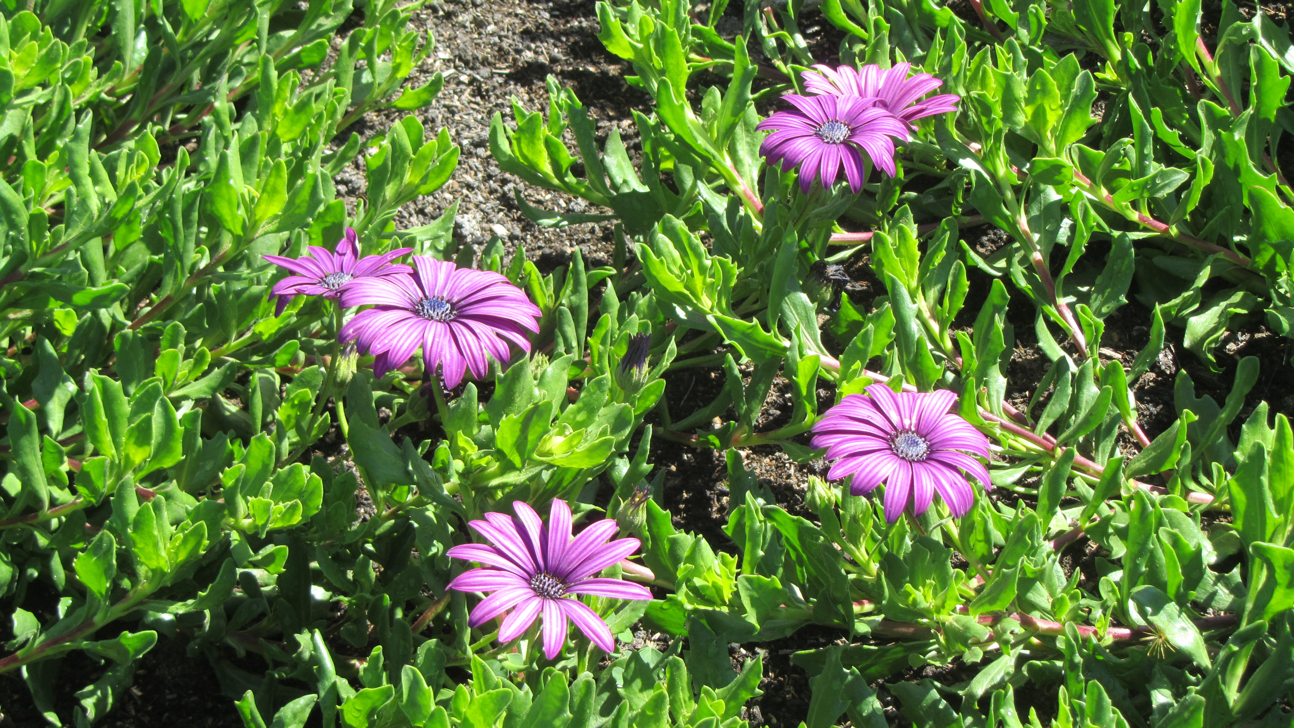 Floral friday osteospermum fruticosum nowathome it grows between 6 and 12 inches tall and can spread four to six feet in width the dark centered daisy like flowers range in color from deep purple to izmirmasajfo