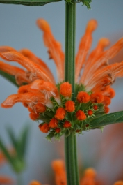 Leonotis leonurus, also known as lion's tail and wild dagga, is a plant species in the mint family, Lamiaceae. The plant is a broadleaf evergreen large shrub native to South Africa and southern Africa, where it is very common. It is known for its medicinal and mild psychoactive properties