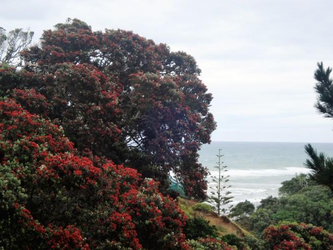 Sunday Trees New Zealand Pohutukawa