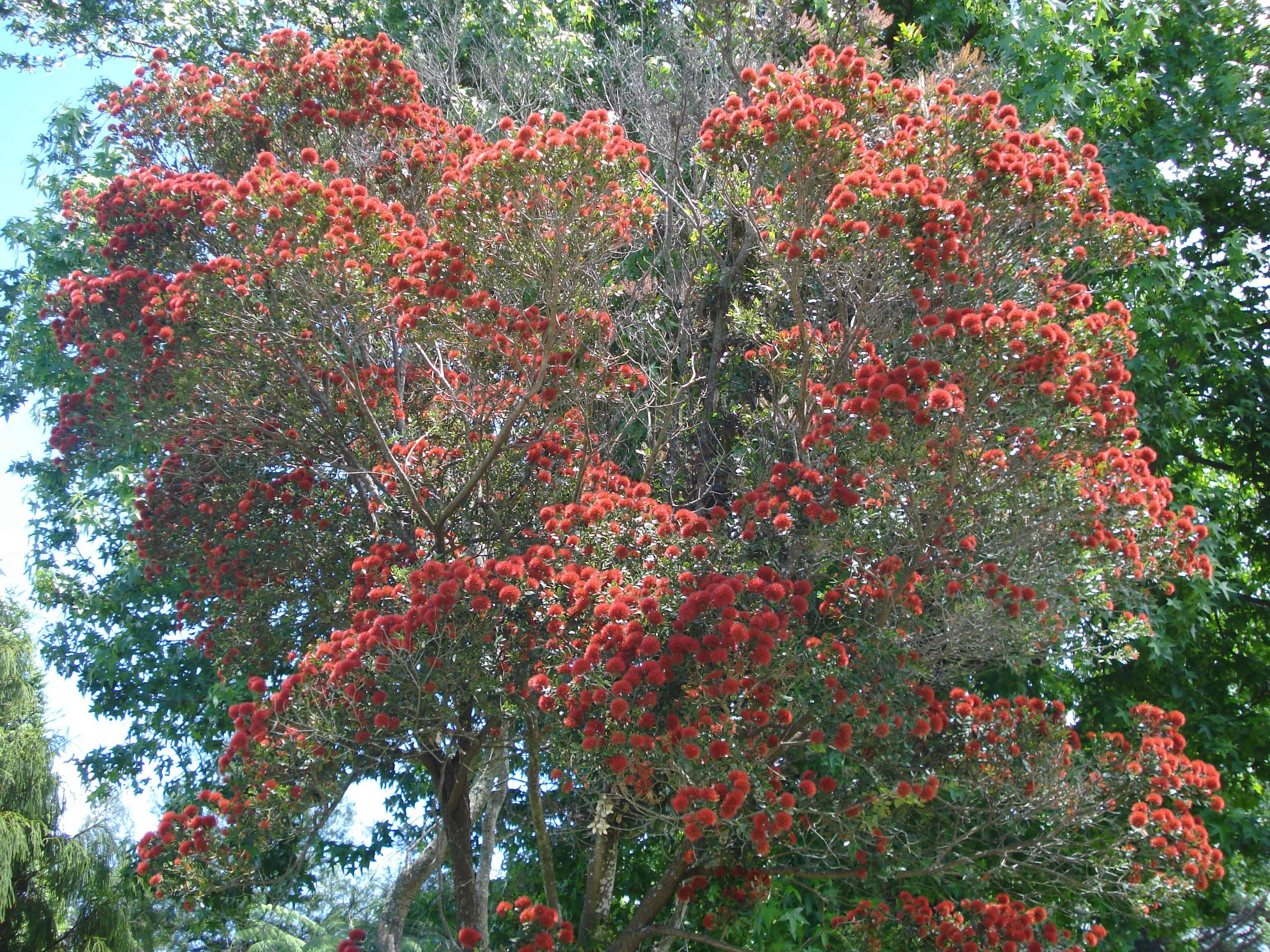 Names Of Christmas Trees Part   40: Metrosideros Excelsa, With Common Names  PÅ Hutukawa