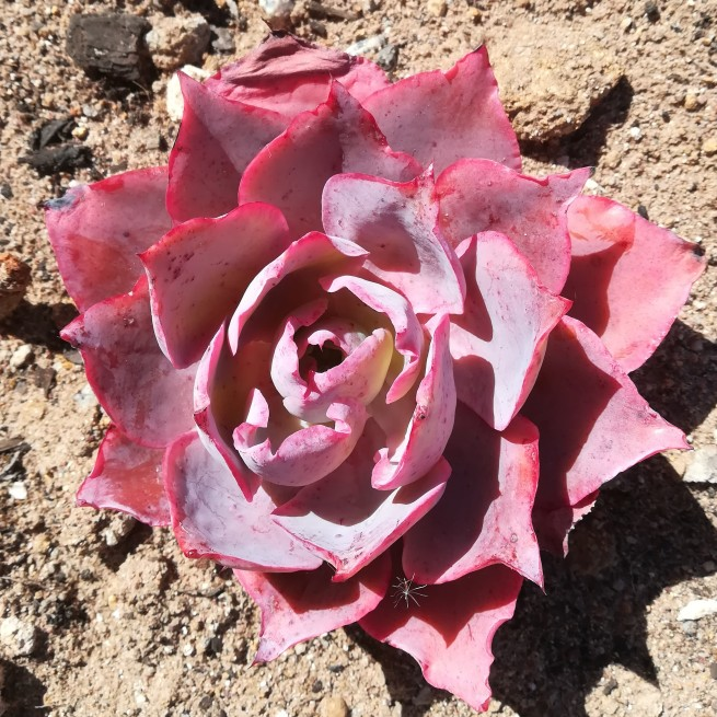 Pink vetplant.jpg