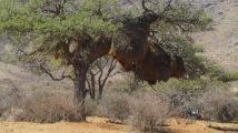 Weaver's communal nests