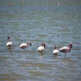 Flamingoes in the Berg River near Velddrift