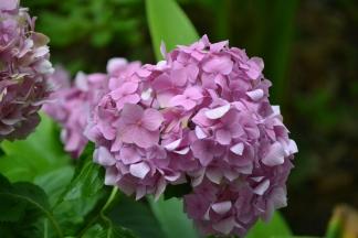 My favourite flower Hydrangea