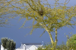 Vachellia xanthophloea is a tree in the family Fabaceae, commonly known in English as the fever tree.