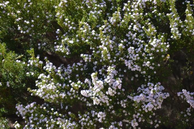 Confetti bush